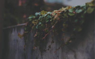 Hekwerk opfleuren met klimplanten Deze soorten zijn geschikt
